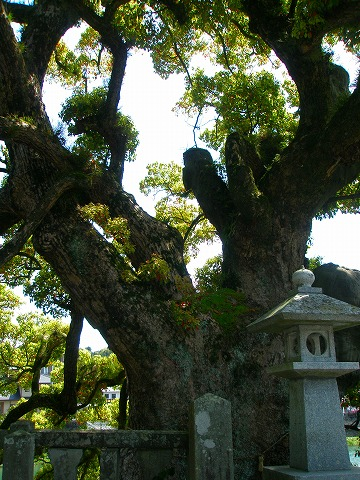 川上神社の樹齢1450年の樫の木